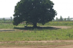 04 Mango-Tree