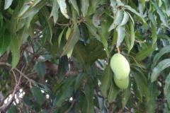 06_Mango