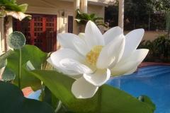 32_Lotus-im-Garten